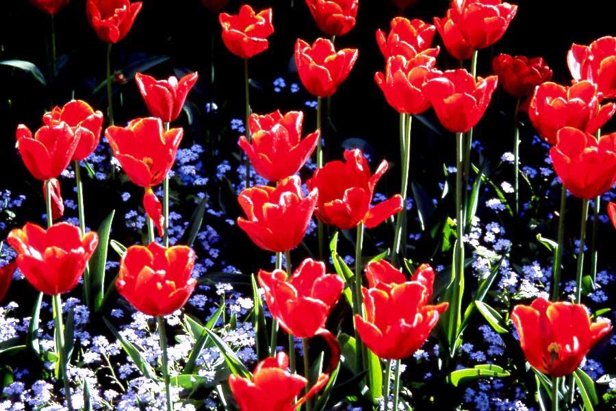 Tulips   2000 Canada