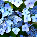 HYDRANGEA ON VARIOUS AXIS